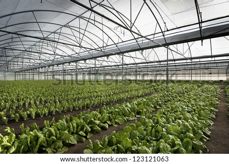 chard cultivation in a greenhouse in the town of Villa del Prado, Madrid