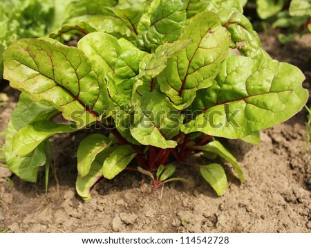 chard growing in a garden