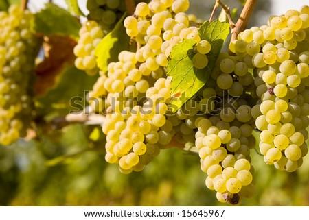 Chardonnay Grapes on Vine in Vineyard