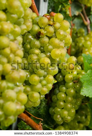 Chardonnay grapevines in vineyards, Lombardy, Northern Italy. #1384908374
