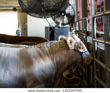 Charlais show cattle dozing as fans blow air on them on a hot summer's day