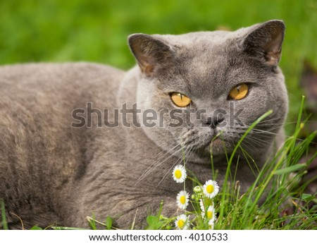 Charming british cat lying on a green grass