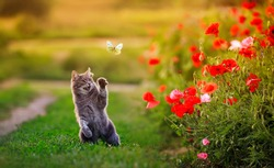 charming cat catches a flying butterfly with its paw on a flower poppy field