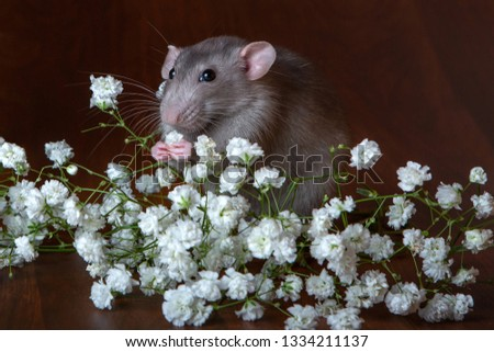 Charming dambo rat with gypsophila flowers on a brown background. Festive picture. Flowers for loved ones.