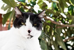 Charming funny black and white cat looking curious into the camera on green fogliage background. Pets concept