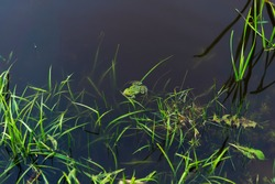 Charming little frog in a small lake in Belarus. An image of a green frog floating on the calm surface of a swamp next to grass sticking out of the water.
