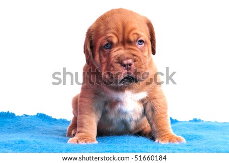 Charming one month old Dogue De Bordeaux puppy is sitting on a blue carpet