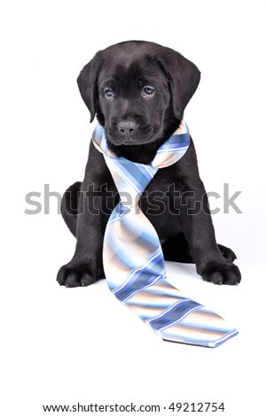 Charming puppy labrador in a necktie on a white background. See other puppies in my portfolio
