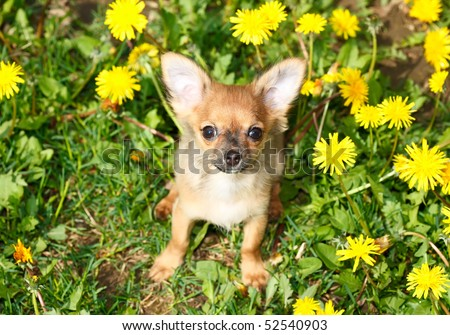 charming puppy of the Chihuahua rests on field with dandelion