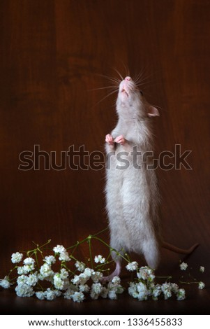Charming rat on its hind legs. Brown background. Festive picture. Flowers for loved ones.