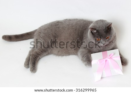 Charming short hair gray British cat holding present gift box