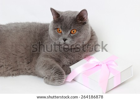 Charming short hair gray British cat holding present gift box with pink bow