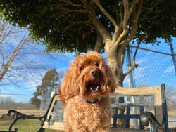 Charming tiny brown colored golden doodle dog is happily perched on the park bench under the holly tree inside the fenced play yard at the canine enrichment boarding and training facility