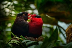 Charmosyna papou, Papuan lorikeet, also known as Stella's lorikeet parrot. Red and melanistic morph of rare bird from Papua in Asia. Two birds, black and red in the tropic green forest. Parrots love.