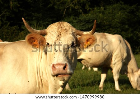 Charolais Cattle. Head shot close up. face covered in flies. Long upturned horns Ears sticking out. Anther in rear eating. Looking directly at camera. No ID tag