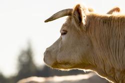 charolais cow in mountain pasture