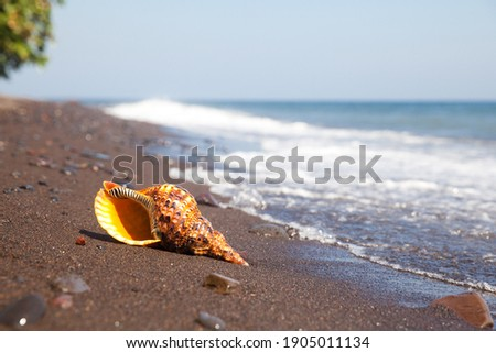 Charonia tritonis clam on the sand. Triton is very large predatory marine gastropods snail in the genus Charonia. Live mollusc. Foto stock ©