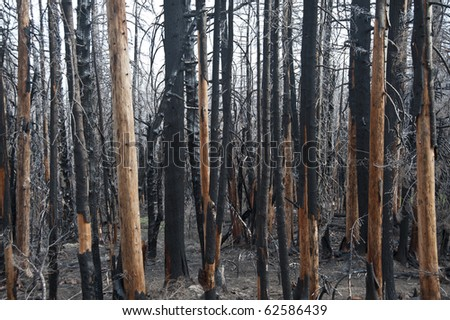 Charred and blackened forest after a fire has passed through