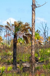 Charred palm trees after a wildfire in Jonathon Dickinson Park, Florida, USA