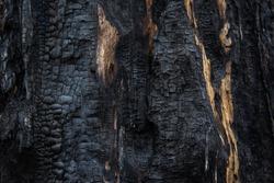 Charred tree, burnt wood texture
