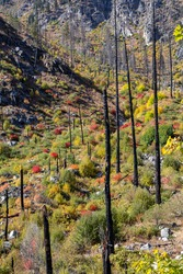 Charred Trees Among Burnt Forest Regrowth in Fall