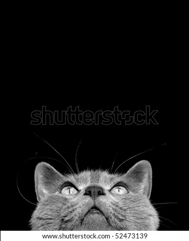 Chartreux cat looking upwards. Black and white