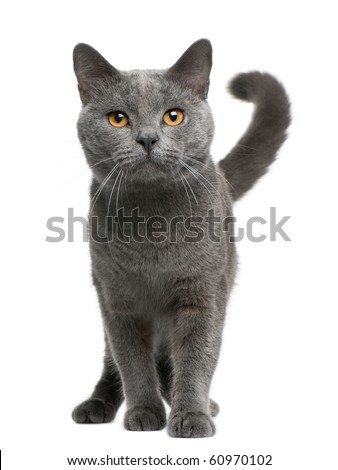 Chartreux cat, 16 months old, standing in front of white background - stock photo