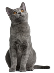 Chartreux kitten, 5 months old, in front of white background