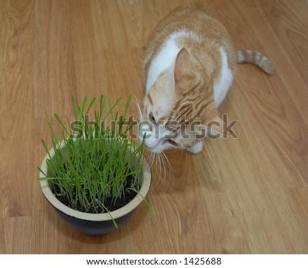 Chat orange et blanc mangeant l'herbe - stock photo