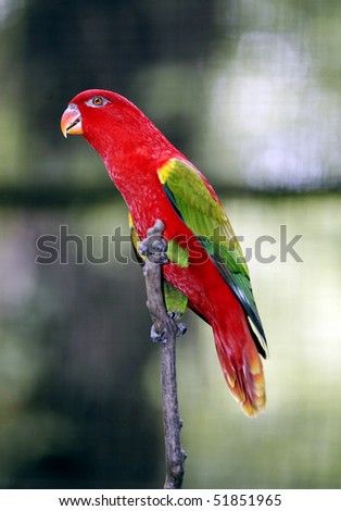 Chattering Lory 1