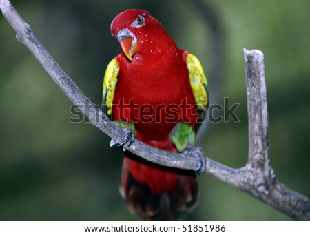 Chattering Lory 6