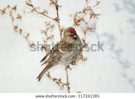 Chechko bird on a bush