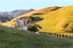 Cheeps enjoy life in the field of countryside  New Zealand