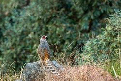 cheer pheasant or Catreus wallichii or Wallich's pheasant portrait during winter migration perched on big rock in natural green background in foothills of himalaya forest uttarakhand india
