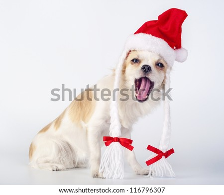 cheerful  Chihuahua dog wearing Santa Claus hat with pigtails and  opening mouth on white background