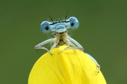 Cheerful damselfly