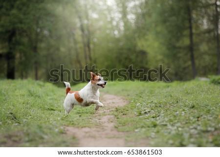 Cheerful jack russell terrier running around the grass, happy little dog #653861503