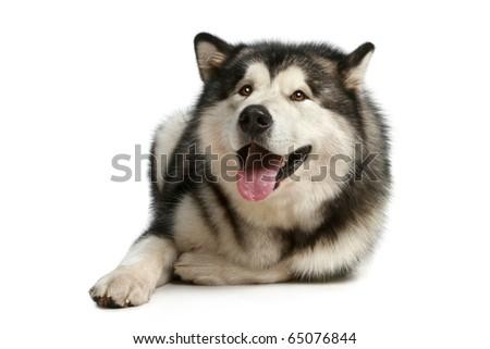 Cheerful malamute lies on a white background