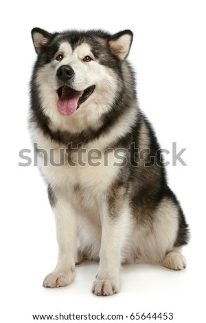 Cheerful malamute sits on a white background