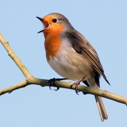 Cheerful male European Robin (Erithacus rubecula) in song during spring.