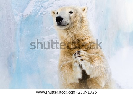 Cheerful polar bear in the Zoo, slapping in the paws - stock photo