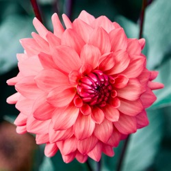 Cheers dahlia, captured at Swan Island Dahlias in Canby, Oregon.
