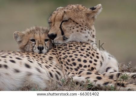 cheetah #66301402
