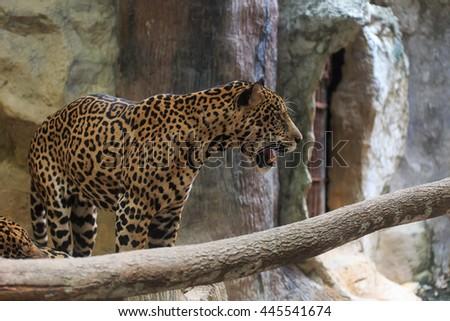 Cheetah (Acinonyx jubatus) #445541674