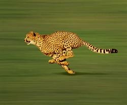 Cheetah, acinonyx jubatus, Adult running