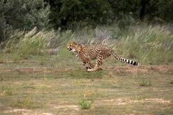 CHEETAH acinonyx jubatus, ADULT RUNNING, NAMIBIA