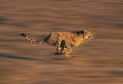 CHEETAH acinonyx jubatus, Adult running through Savannah