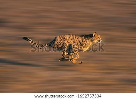 CHEETAH acinonyx jubatus, Adult running through Savannah   ストックフォト ©