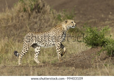 Cheetah (Acinonyx jubatus) alert and hunting, Kenya's Masai Mara