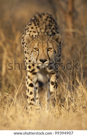 Cheetah (Acinonyx jubatus) alert and watching, South Africa